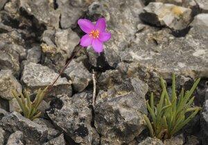 Phemeranthus calcaricus - Margie Hunter