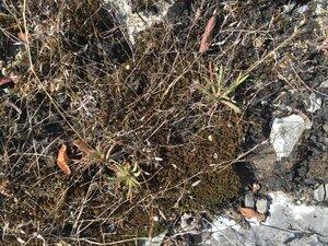 Phemeranthus calcaricus - Sunny Fleming