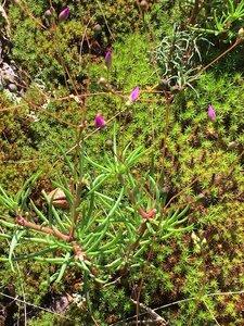 Phemeranthus mengesii - Dwayne Estes