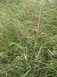 Phleum pratense ssp. pratense - Dwayne Estes