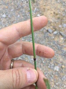 Phleum pratense ssp. pratense - Joey Shaw