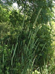 Phleum pratense ssp. pratense - Theo Witsell