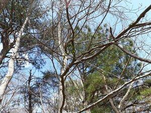 Phoradendron leucarpum - Joey Shaw