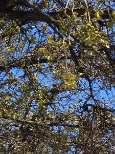 Phoradendron leucarpum ssp. leucarpum - Milo Pyne