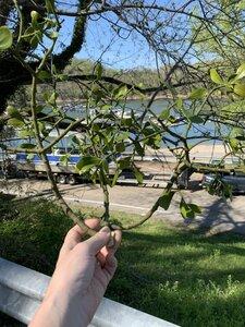 Phoradendron leucarpum ssp. leucarpum - Shawn Krosnick