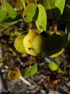 Phyllanthopsis phyllanthoides - Dwayne Estes