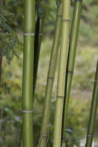 Phyllostachys bambusoides - Dwayne Estes