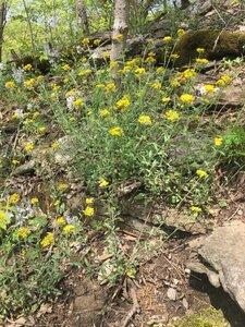 Physaria globosa - Tara Littlefield