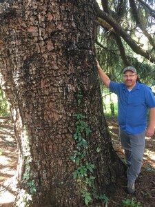 Picea abies - Dwayne Estes