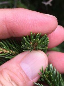 Picea rubens - Dwayne Estes