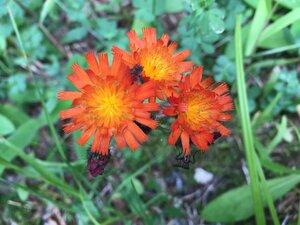 Pilosella aurantiaca - Tara Littlefield