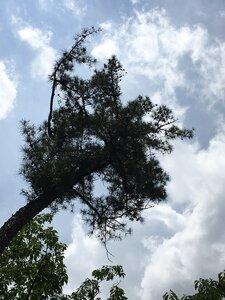 Pinus echinata - Dwayne Estes