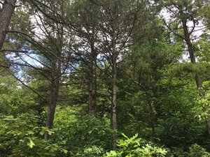 Pinus echinata - Joey Shaw