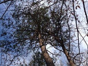 Pinus echinata - Milo Pyne