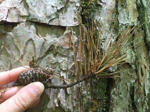 Pinus echinata - Sunny Fleming