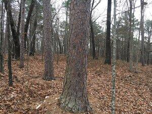 Pinus echinata - Theo Witsell