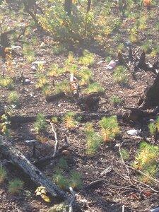 Pinus pungens - Milo Pyne
