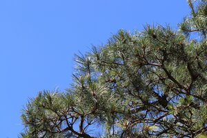 Pinus rigida - Ashley B. Morris
