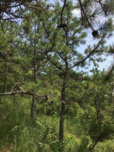 Pinus rigida - Dwayne Estes