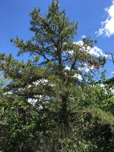 Pinus rigida - Joey Shaw