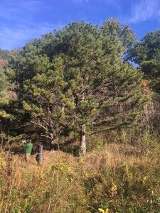 Pinus rigida - Tara Littlefield