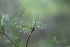 Pinus strobus - Ashley B. Morris