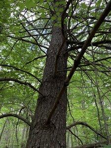 Pinus strobus - Dwayne Estes