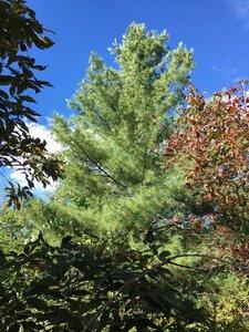 Pinus strobus - Joey Shaw
