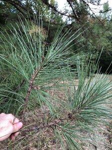 Pinus taeda - Dwayne Estes