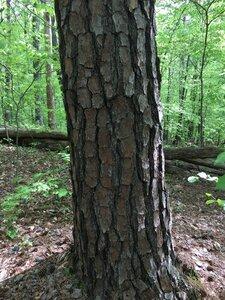 Pinus taeda - Joey Shaw