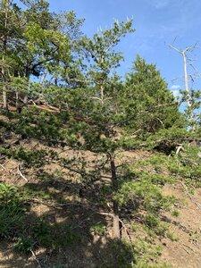 Pinus virginiana - Dwayne Estes