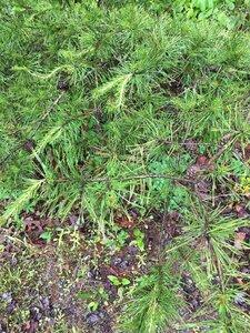 Pinus virginiana - Joey Shaw