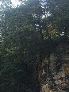 Pinus virginiana - Tara Littlefield
