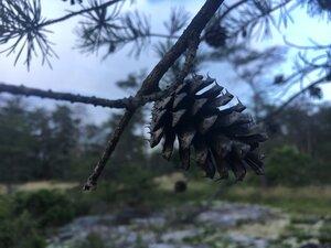 Pinus virginiana - Theo Witsell