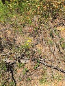 Pityopsis graminifolia - Joey Shaw