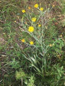 Pityopsis graminifolia var. latifolia - Tara Littlefield