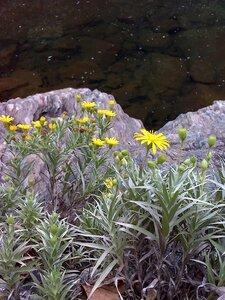 Pityopsis ruthii - Joey Shaw