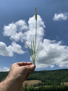 Plantago aristata - Dwayne Estes
