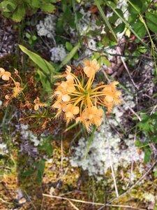 Platanthera ciliaris - Dwayne Estes