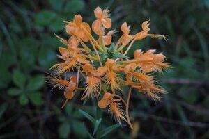 Platanthera ciliaris - Milo Pyne