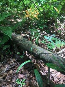 Platanthera ciliaris - Tara Littlefield