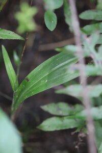 Platanthera clavellata - Ashley B. Morris