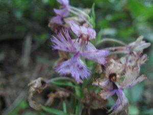 Platanthera grandiflora - Tara Littlefield