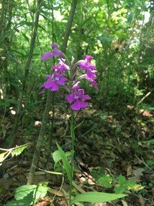 Platanthera peramoena - Tara Littlefield