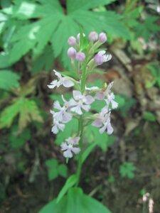 Platanthera psycodes - Tara Littlefield