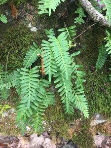 Pleopeltis michauxiana - Joey Shaw