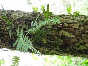 Pleopeltis michauxiana - Tara Littlefield