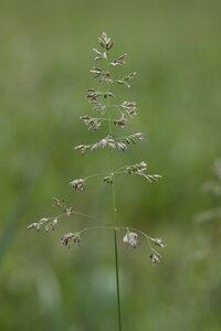 Poa pratensis ssp. pratensis - Dwayne Estes