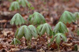 Podophyllum peltatum - Ashley B. Morris