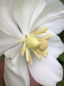 Podophyllum peltatum - Joey Shaw